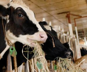 草を食む乳牛